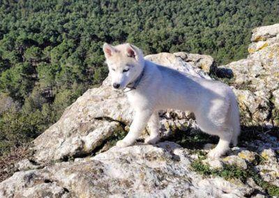 Cachorro Husky siberiano montaña