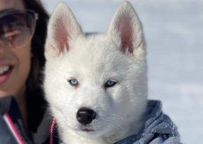 Cachorro husky siberiano en la nieve