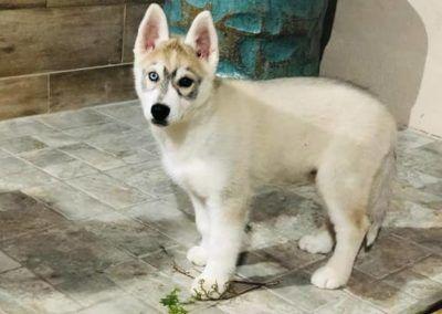 Husky siberiano cachorro ojos bicolor