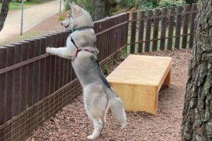 Husky siberiano cachorro apoyado en la valla