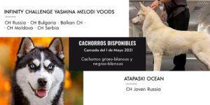 nueva camada de huskys siberianos