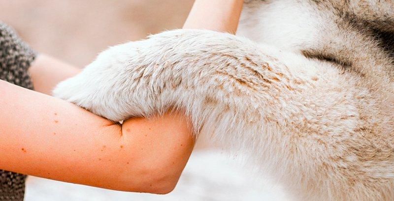Cómo cuidar el pelo del Husky Siberiano