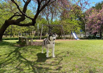 Husky siberiano hembra parque