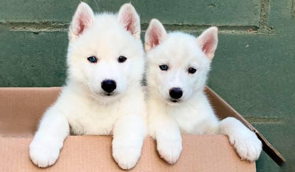 Cachorros de husky siberiano blancos