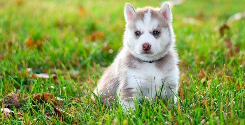 Consejos para criar a tu Husky Siberiano bebé