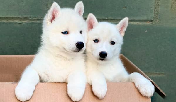 Cachorros husky siberiano ojos bicolor