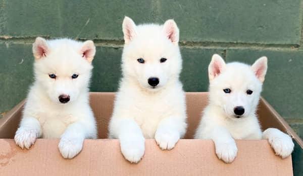 Tres cachorros de husky siberiano